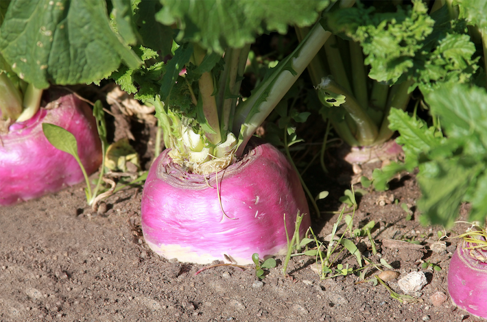 turnips are a versatile root vegetable